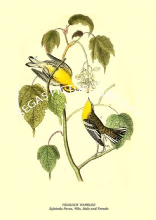HEMLOCK WARBLER - Sylvicola Parus, Wils, Male and Female
